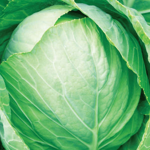 A beautiful light green Cabbage Premium Flat Dutch (Sow Easy) Vegetable from McKenzie Seeds