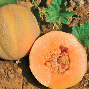 A tiny golden delight with McKenzie Seeds Cantaloupe Minnesota Midget Vegetables
