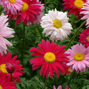 A mixture of white, pink, and red McKenzie Seeds Chrysanthemum Robinson Mix (Sow Easy) Flowers