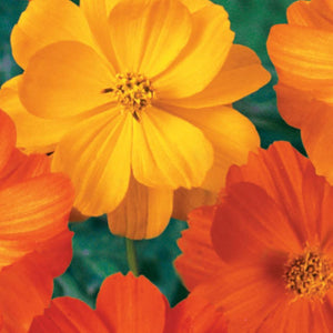 Cosmos Bright Lights (Sow Easy)