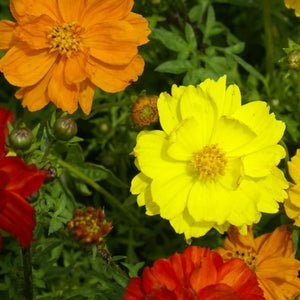 Cosmos Sunny Mix (Sow Easy)