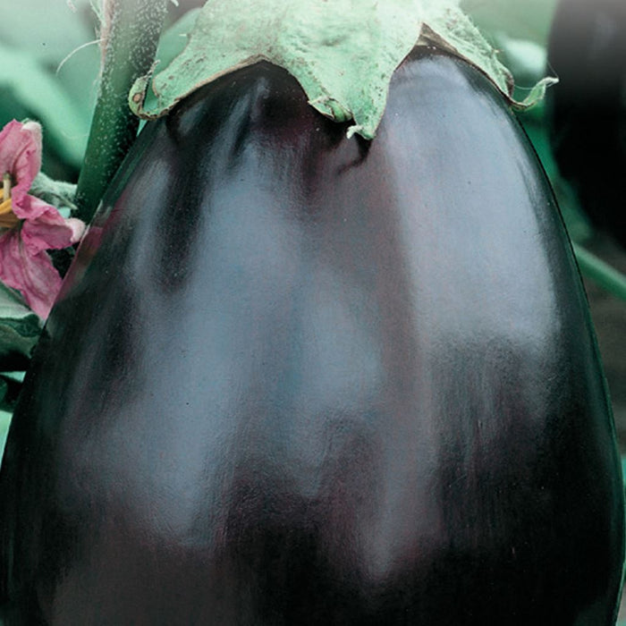 Eggplant Black Beauty (Sow Easy)