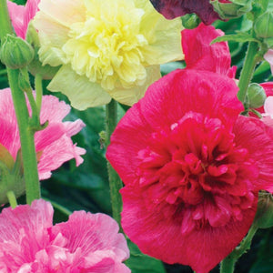Hollyhock Dwarf Mix (Sow Easy)