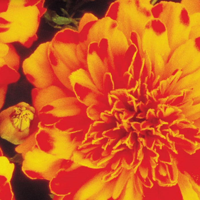 Marigold French Double Dwarf (Sow Easy)