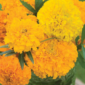 Marigold McKenzie's Best Mix (Sow Easy)