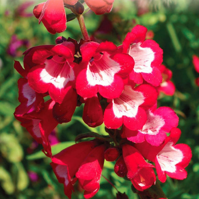 Penstemon Sensation Scarlet