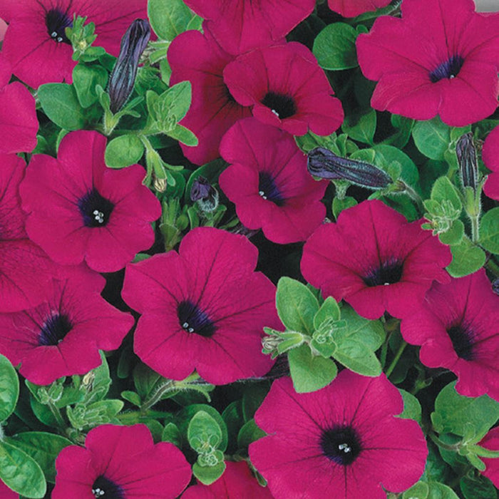 Petunia Purple Wave (Sow Easy)
