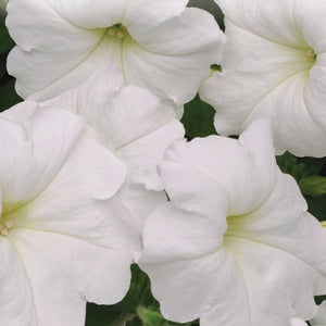 Petunia White Easy Wave©