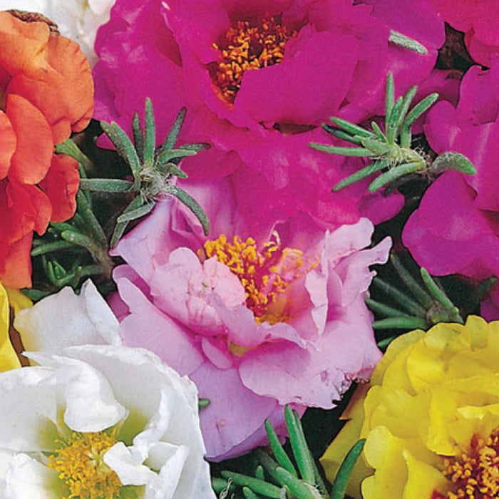 Portulaca Mix (Sow Easy)