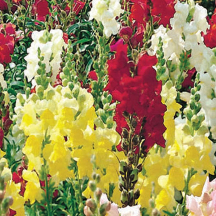 Snapdragon McKenzie's Best Dwarf Mix (Sow Easy)