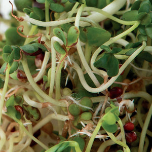 A wonderful mesh of sprouts of McKenzie Seeds Broccoli Brassica Blend Sprout Seeds Organic Seeds