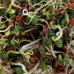 Super Spicy Lentil Crunch Sprout Seeds Organic
