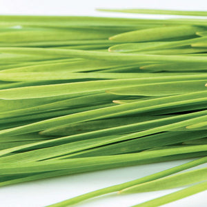 Wheatgrass Sprout Seeds Organic