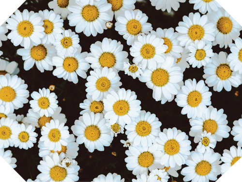 Daisies Placemats