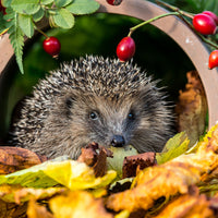 Help for Hedgehogs this Winter