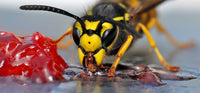Wasp Surge - How to control wasps naturally