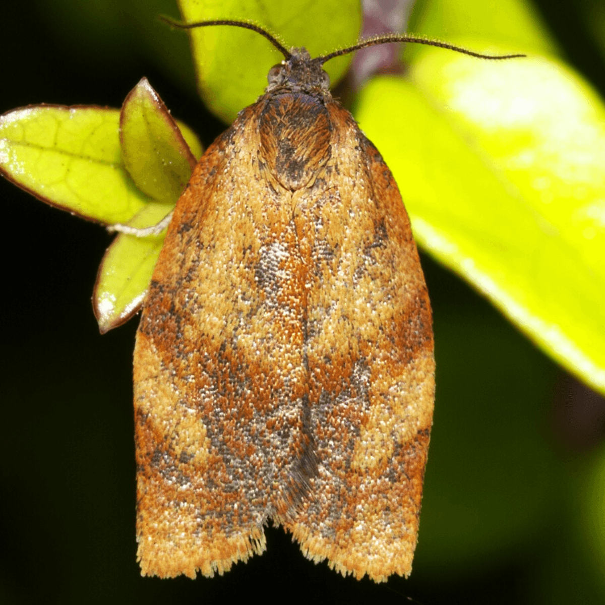Carnation Tortrix Moth Trap