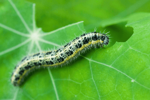 Caterpillar Killer Nematodes