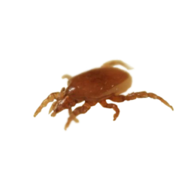 Mighty Mite - Macrocheles robustulus