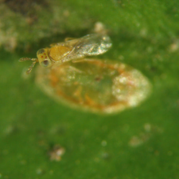 Soft Scale Killer Parasitic Wasp - Metaphycus flavus