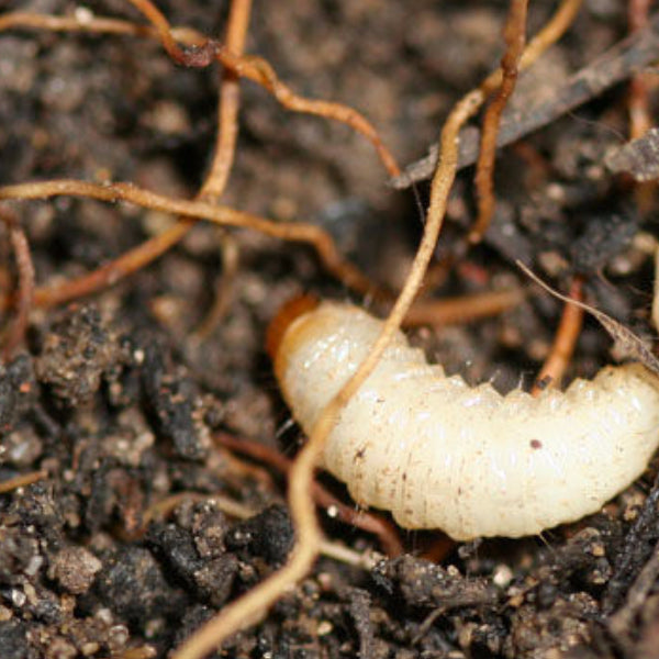 Vine Weevil Killer Gel Nematodes