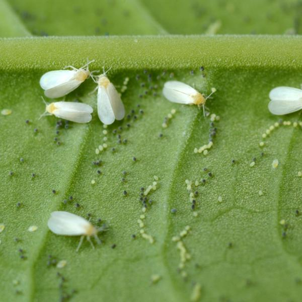 Whitefly Killer Programs - Encarsia Formosa