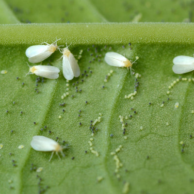 Whitefly Killer Cards - Encarsia formosa