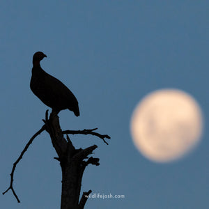 Fowl at the Moon