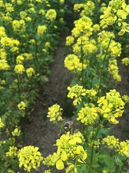 Braco White Mustard Cover Crop