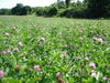 red clover pasture forage mix