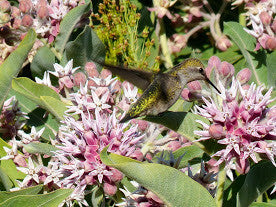 Native Showy Milkweed Pro Time Lawn Seed