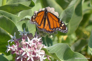 Native Showy Milkweed