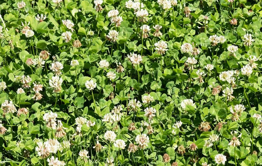 Dutch White Clover