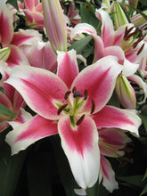 Load image into Gallery viewer, Candy Club Orienpet Hybrid Lily
