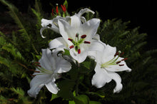Load image into Gallery viewer, Casa Blanca Oriental Lily