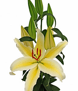 Chill Out Oriental Lily