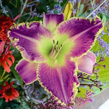Load image into Gallery viewer, Judy Judy Daylily