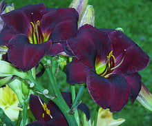 Load image into Gallery viewer, Raspberry Suede Daylily