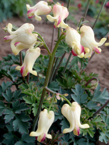 Dicentra Love Hearts