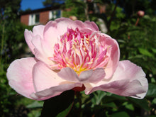 Load image into Gallery viewer, Do Tell Bush Peony
