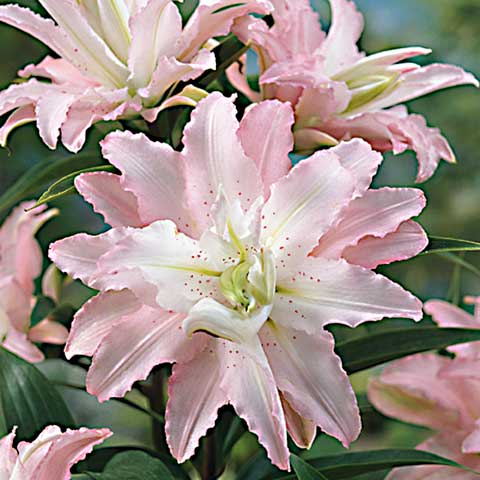 Blushing Girl Double Oriental Lily