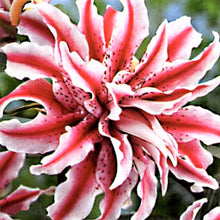 Load image into Gallery viewer, Magic Star Double Oriental Lily