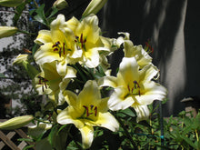 Load image into Gallery viewer, Conca d'Or Orienpet Hybrid Lily