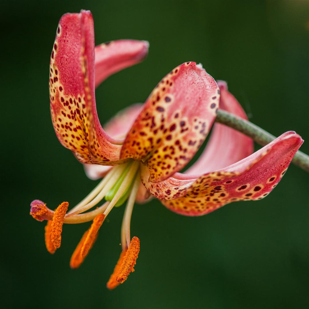Manitoba Morning Martagon Lily