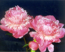 Load image into Gallery viewer, Edulis Superba Bush Peony