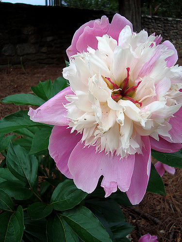 Bowl of Beauty Bush Peony