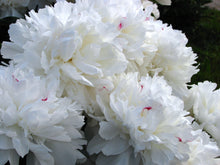 Load image into Gallery viewer, Festiva Maxima Bush Peony