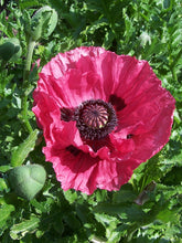 Load image into Gallery viewer, Harlem Poppy
