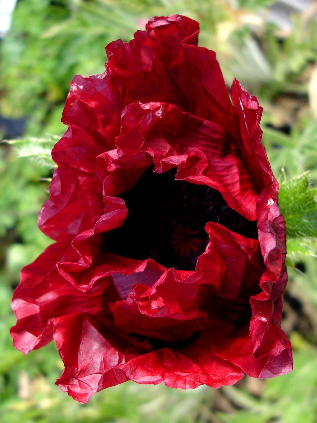 Royal Chocolate Distinction Poppy