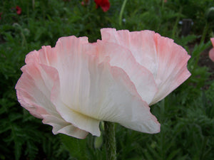 "Shasta ""Super"" Poppy"